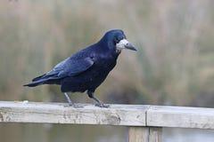 Κοράκι, frugilegus Corvus Στοκ φωτογραφία με δικαίωμα ελεύθερης χρήσης