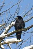 Frugilegus Corvus/del corvo Fotografia Stock Libera da Diritti