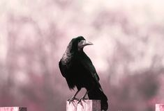 Frugilegus de /corvus de um pássaro da gralha/corvo foto de stock