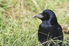 Frugilegus del grajo/del Corvus imagenes de archivo