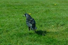 Frugilegus di corvo - corvi e corvi tipici di inglese immagine stock libera da diritti