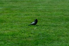 Frugilegus di corvo - corvi e corvi tipici di inglese immagini stock