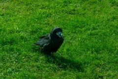 Frugilegus di corvo - corvi e corvi tipici di inglese fotografie stock libere da diritti