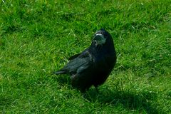 Frugilegus di corvo - corvi e corvi tipici di inglese fotografie stock