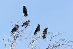 Frugilegus di corvo, corvo Immagine Stock