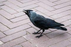 """Frugilegus di corvo di un corvo """"che mangiano un certo pane immagini stock libere da diritti"""