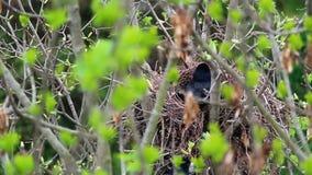 Frugilegus van raafcorvus zit in nest in boombovenkant stock videobeelden