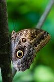Fruhstorfer的猫头鹰蝴蝶 库存照片