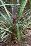 Frui tropical d'ananas Photo libre de droits
