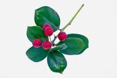 fruit à feuilles persistantes rouge Photo libre de droits