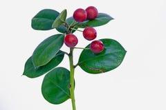 fruit à feuilles persistantes rouge Photos stock