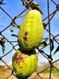 Fruit étrange d'usine Photos libres de droits