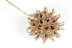 Fruit #2 de Sweetgum photographie stock libre de droits