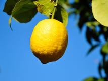 Fruit accrochant de citron Photo libre de droits