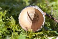 Fruit an acorn cup Stock Image