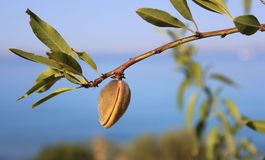 Fruit on an almond tree branch. Almost mature fruit on an almond tree branch - Prunus amygdalus Stock Image