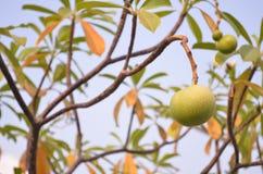 Fruit of Alstonia scholaris 02. Fruit of Alstonia scholaris in Chonburi,Thailand Royalty Free Stock Photography