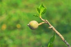 Fruit americana de Genipa sur l'arbre de Jenipapeiro Photos libres de droits