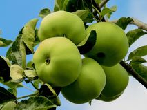 Fruit, Apple, Fruit Tree, Granny Smith royalty free stock images