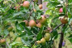 Fruit, Apple, Local Food, Fruit Tree stock photos