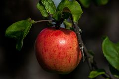 Fruit, Apple, Local Food, Produce royalty free stock image