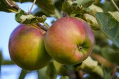 Fruit, Apple, Local Food, Produce royalty free stock photography