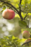 Fruit  apple  red  tree Royalty Free Stock Photos