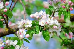 Fruit Apple Tree Blooming with Pinkish Blossom. In Spring stock photo