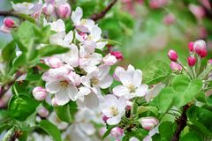 Fruit Apple Tree Blooming with Pinkish Blossom. In Spring royalty free stock image