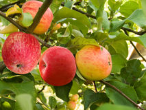 Fruit  apples Royalty Free Stock Image