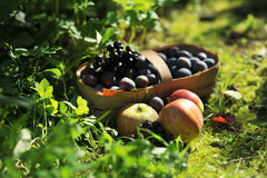 Fruit. apples. plums. Fruit in a basket in the grass. Apples, plums Stock Photography