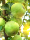 Fruit apples  tree Royalty Free Stock Photos