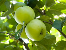 Fruit apples on a tree Royalty Free Stock Images