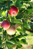 Fruit apples on a tree Stock Images
