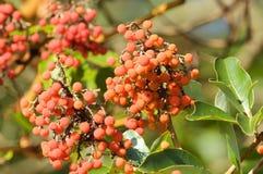 Fruit of Arbutus tree (Arbutus menziesli) Royalty Free Stock Image