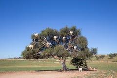 Sheep climbing on Argan tree near Marrakech