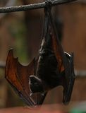 Fruit bat 003 Stock Photo