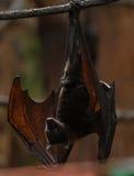 Fruit bat 003 stock photo