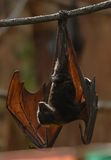 Fruit bat 004. A Malaysian fruit bat hangs upside down during the day Royalty Free Stock Image