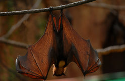 Fruit Bat 03. A Malaysian Fruit Bat hangs upside down during the day with his wings spread wide open Royalty Free Stock Photo