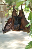Fruit Bat 1. Fruit bat found in Malaysia Royalty Free Stock Photos