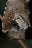 Fruit bat. A fruit bat hanging on the ceiling of a tropical cave Royalty Free Stock Photo