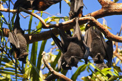 Fruit bat Royalty Free Stock Photo