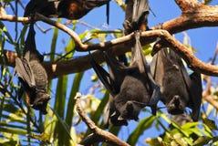 Fruit bat. Kakadu National Park, Australia Royalty Free Stock Photo