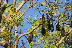 Fruit bat. Kakadu National Park, Australia Royalty Free Stock Photography
