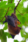 Fruit bat. (pteropus giganteus) hanging on the tree Royalty Free Stock Photography