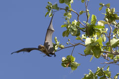 Fruit bat. A maldivian fruit bat launching itself from a tree Stock Photo