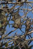 Fruit Bat. Hanging from tree, Sydney Botanical Gardens Stock Photo