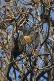 Fruit Bat. Hanging from tree, Sydney Botanical Gardens Royalty Free Stock Images