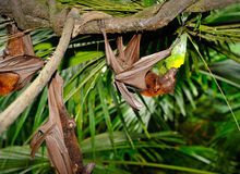 Fruit bat. Close up of fruit bat (epomops franqueti) hanging in a tree, selective focus Royalty Free Stock Photography